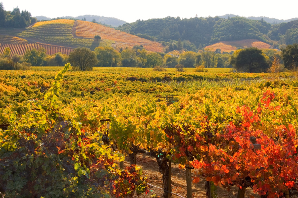 Autum vineyard